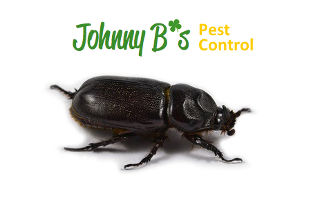 The Giant Beetles That Are Eaten Alive
