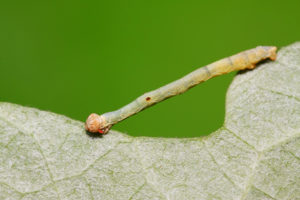 77163859 - cankerworm larvae on plant in the wild